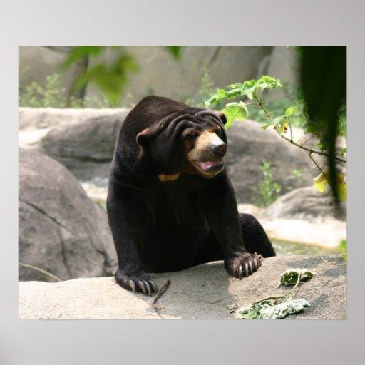 Impresión del oso del sol de Malaya Poster