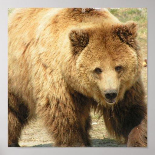 Impresión del oso grizzly posters