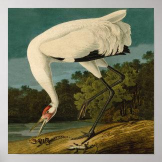 Impresión del pájaro de Audubon de la grúa que Póster