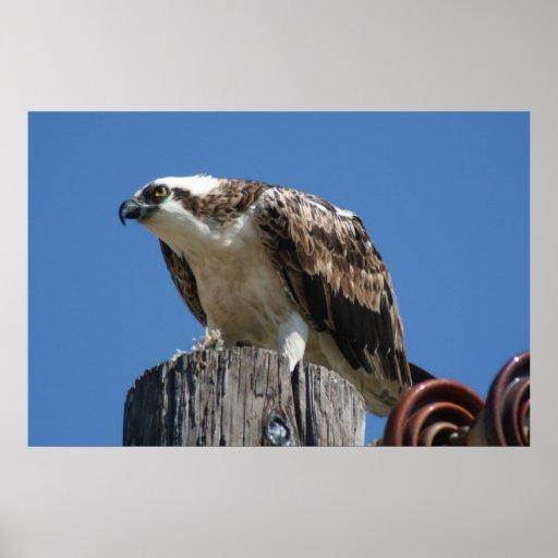 Impresión del pájaro de Osprey Posters