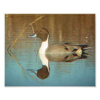 Impresión del pato del pato rojizo septentrional cojinete