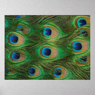 Impresión del Peafowl/del pavo real Posters