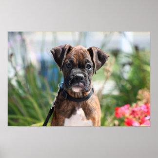 Impresión del perrito del boxeador en lona posters
