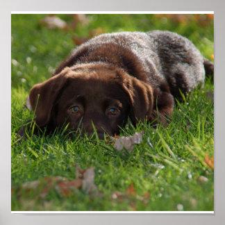 Impresión del perrito del laboratorio del chocolat poster