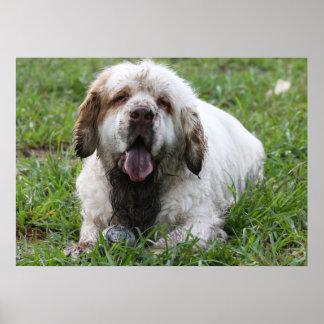 Impresión del perro de aguas de Clumber Poster