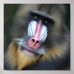 Impresión del poster de la cara del babuino