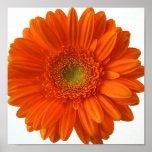 Impresión del poster de la margarita anaranjada