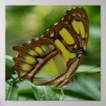 Impresión del poster de la mariposa de la malaquit