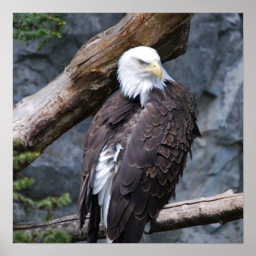 Impresión del poster de la perca de Eagle