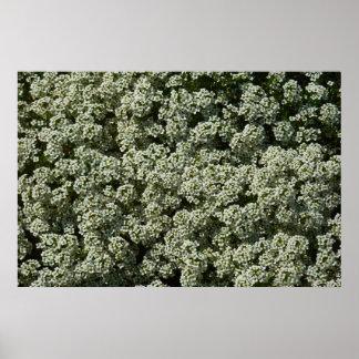 Impresión del poster de las flores del Alyssum dul