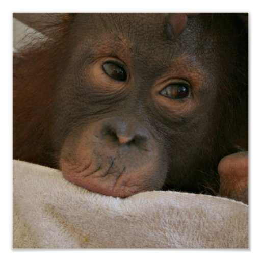 Impresión del poster del chimpancé del bebé