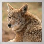 Impresión del poster del coyote