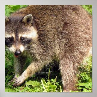 Impresión del poster del mapache