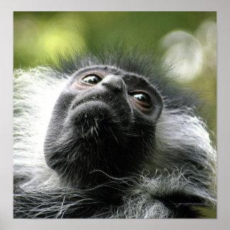 Impresión del poster del mono de Colobus de Rwanda