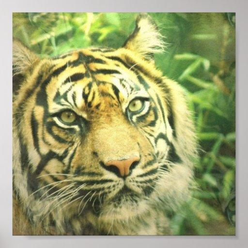Impresión del poster del tigre siberiano