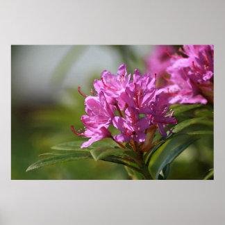 Impresión del rododendro posters