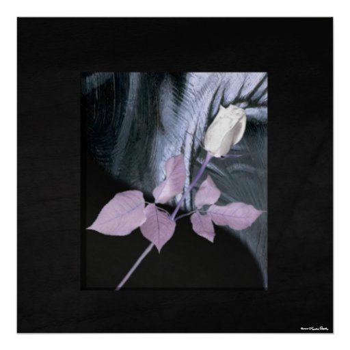 Impresión del rosa blanco póster