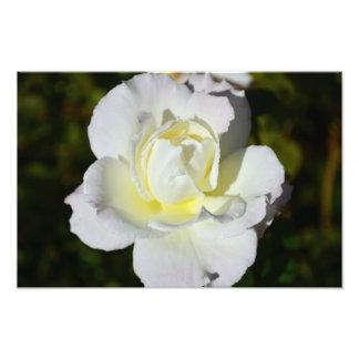 Impresión del rosa blanco y amarillo cojinete