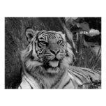 Impresión del tigre de Sumatran Poster