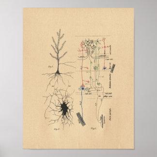 Impresión del vintage de la anatomía de la neurona póster
