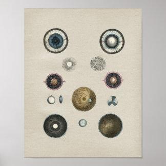 Impresión del vintage de la anatomía del ojo póster