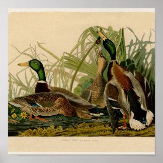 Impresión del vintage del pájaro del pato del pato poster