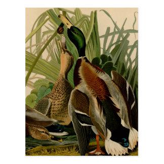 Impresión del vintage del pájaro del pato del pato tarjeta postal