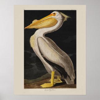 Impresión del vintage del pájaro del pelícano blan poster