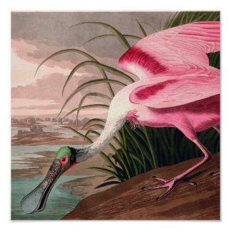 Impresión del vintage del pájaro del Spoonbill Poster