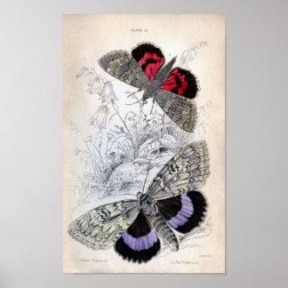Impresión del vintage - lepidópteros - polillas y posters