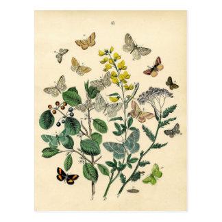 Impresión del vintage - lepidópteros - polillas y tarjeta postal