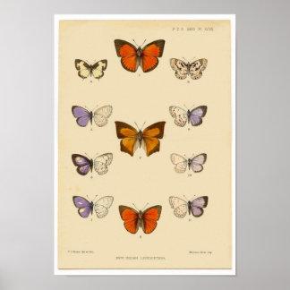 Impresión del vintage - nuevos lepidópteros indios posters