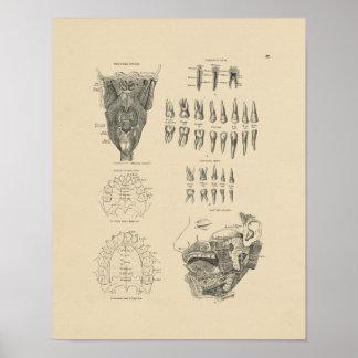 Impresión dental de la anatomía 1880 del vintage póster