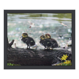 Impresión Ducky -24x20 - otro clasifica disponible Póster