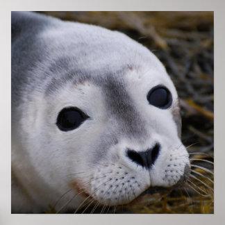 Impresión dulce del poster de la cría de foca