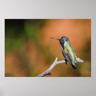 Impresión: El colibrí #5 de la costa Póster