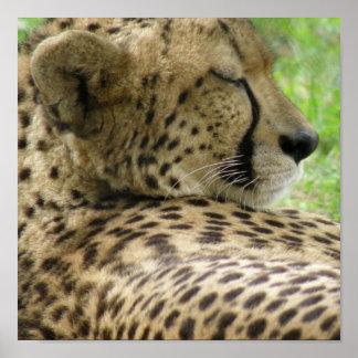 Impresión el dormir del guepardo posters