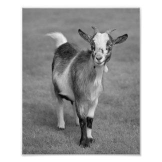 Impresión enana de la cabra (blanco y negro) fotografía