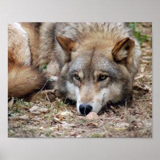 Impresión enmarcada lobo impresiones