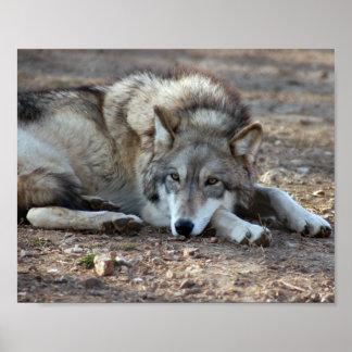 Impresión enmarcada lobo póster