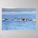 Impresión enmarcada Superpod de la orca Posters