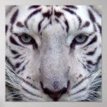 Impresión enmarcada tigre blanco poster
