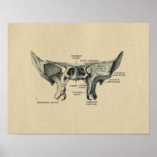 Impresión esfenoidal humana 1902 del vintage de la