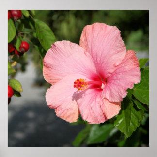 Impresión floral coralina del hibisco posters