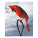Impresión fotográfica cardinal fotografía