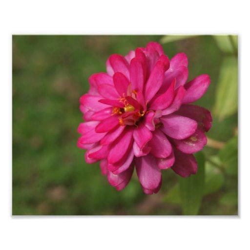 Impresión fotográfica rosada de la pasión 10x8 fotografía