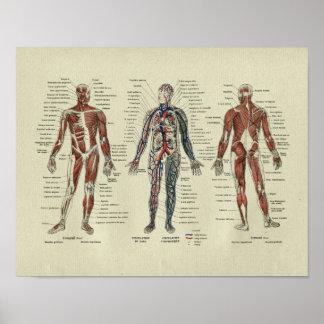 Impresión francesa de la anatomía del músculo del póster