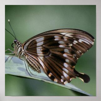 Impresión gigante de la mariposa de Swallowtail Poster