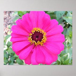 Impresión grande de la foto del Zinnia de las rosa Póster