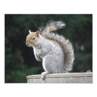 Impresión gris elegante de la foto de la ardilla